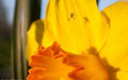 Pajączek w kwiatku żonkila