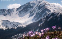 Krokusy na tle ośnieżonego szczytu