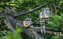 Lemury w ZOO Ostrava