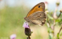 Motyl pospolity