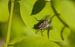 Mucha na liściu