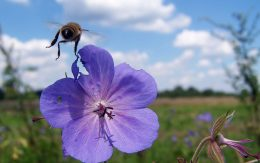 Pszczoła na kwiatach w Bochni