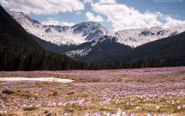 fioletowe krokusy w Zakopane