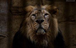 Lew zamknięty w klatce