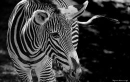 Zebra w ZOO Ostrava
