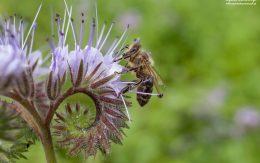 Kwiaty facelii i pszczoły