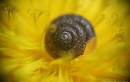Muszla ślimaka na kwiatku mlecza