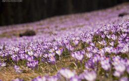 fioletowe kwiaty krokusy