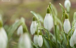 Pierwsze przebiśniegi wiosną