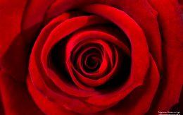 Wnętrze kwiatu róży