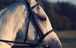 White hors