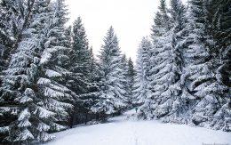 Choinki uginają się pod ciężarem śniegu