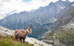 Koza w Tatrach